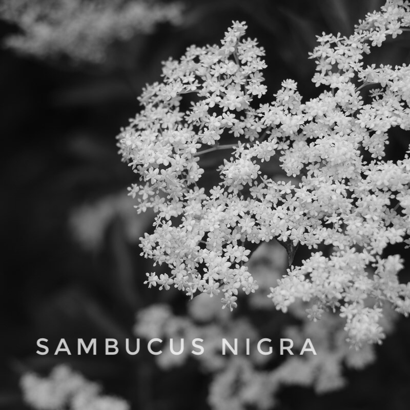 Fliederblüte in schwarz-weiss mit lateinischem Namen