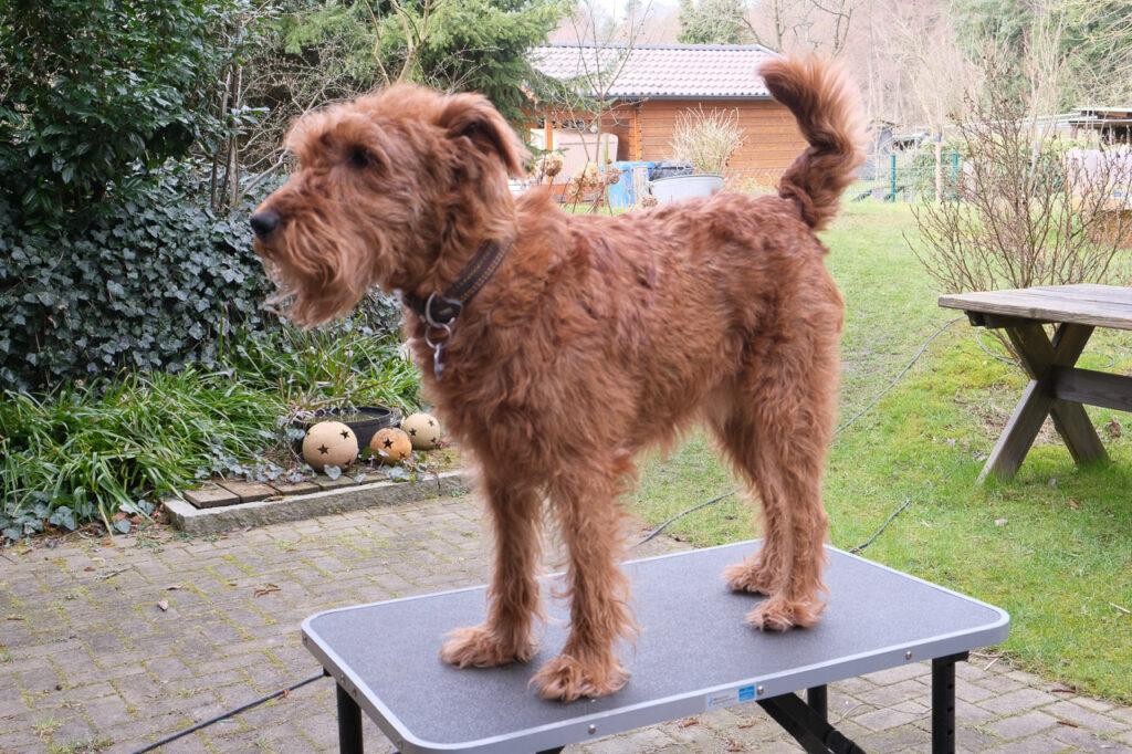 Irish Terrier, ungetrimmt
