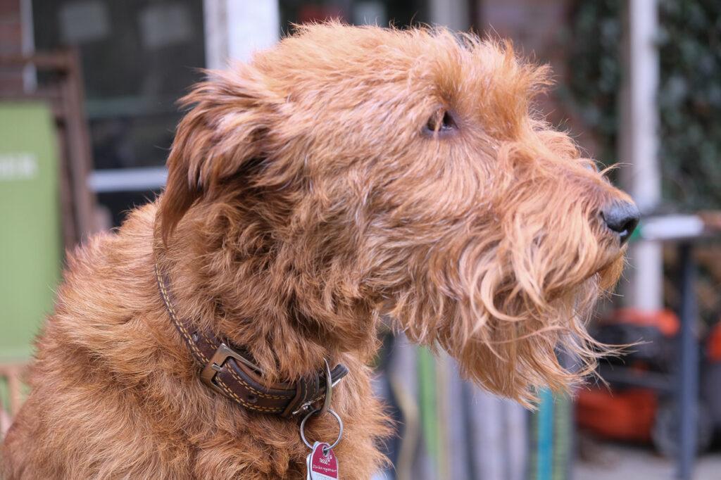 Irish Terrier, vor und nach dem Trimmen