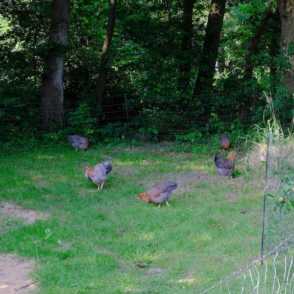 Hühnergarten als Freilauf tagsüber